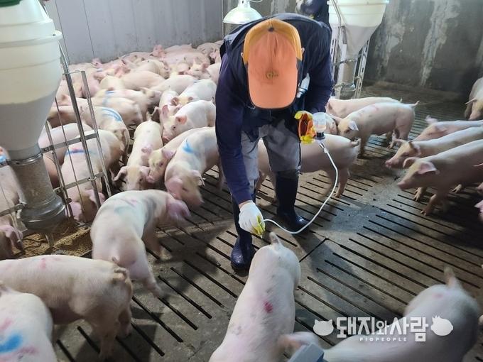 구제역 백신 예방 접종@돼지와사람